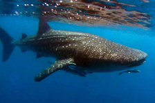 whale-shark-nosy-be-p